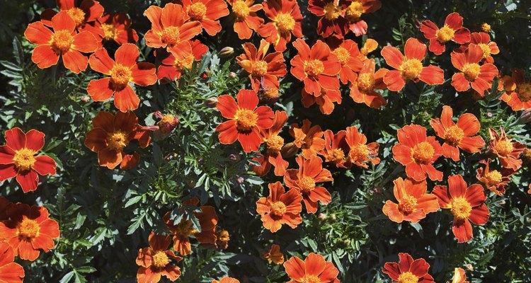 El apalachina es un arbusto de imperecedero con bayas de color rojo brillante.