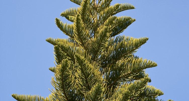Los pinos son altos y tienen un aroma agradable.