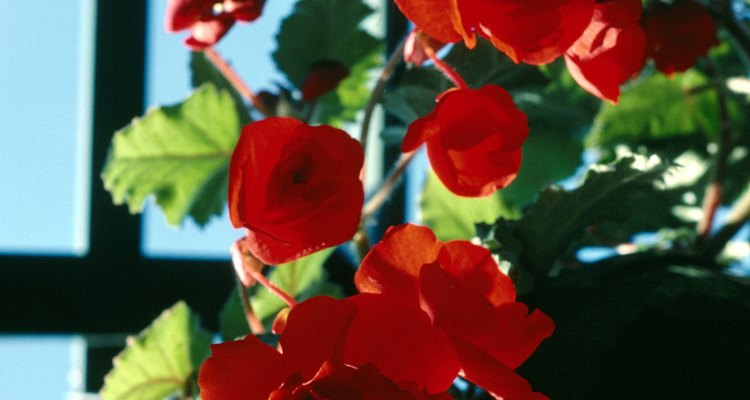 Trailing begonias grow well as hanging plants.