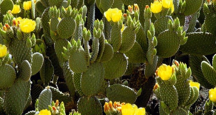 Los cactus segmentados o los que forman hojas son los mejores para realizar esquejes.