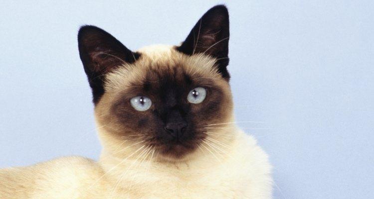 Siamês com olhos azul bebê