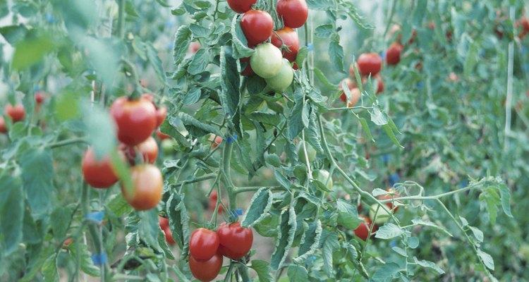 Las plantas de tomate que pierden las flores no producen frutos.