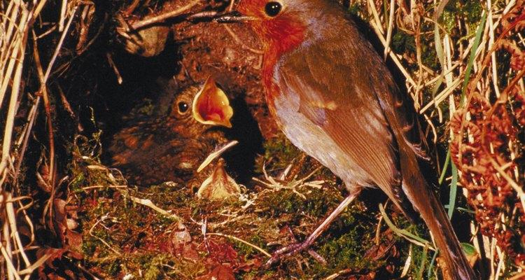 Cómo alimentar a un pájaro petirrojo.