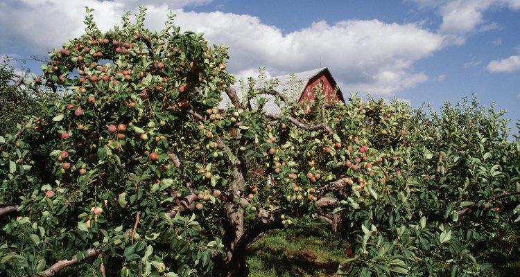 Los manzanos son uno de los frutales más comúmente plantados en los jardines caseros.