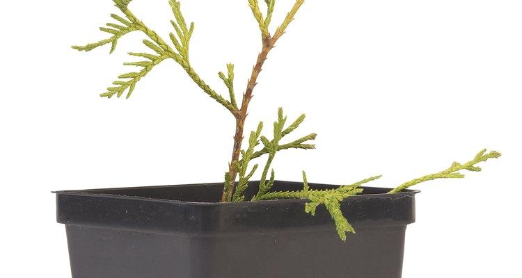 El cedro deodara (cedrus deodara) es el de crecimiento rápido de los cedros verdaderos, aunque no es más rápido que otros árboles mencionados.