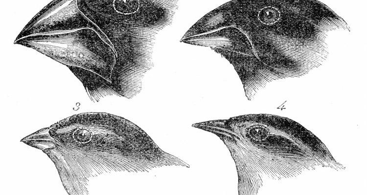 El Pinzón Cebra presenta diferencia en el tamaño del pico entre la hembra y el macho.
