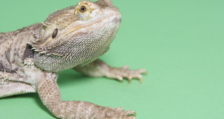 Bearded dragons have similar sleeping habits in captivity as they do in the wild.
