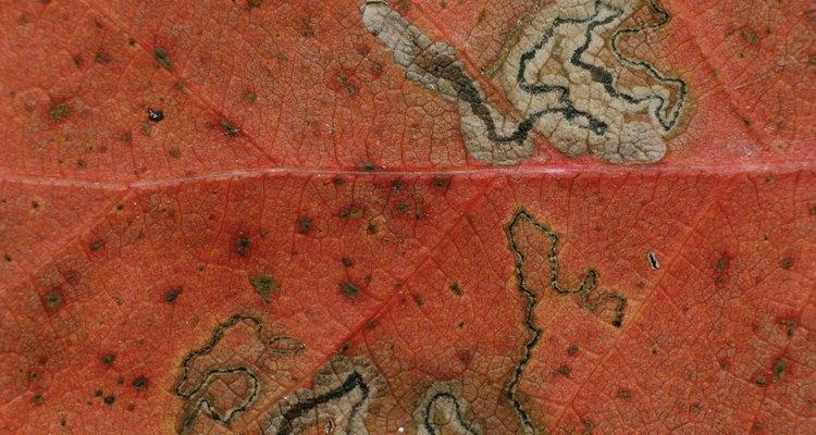 Las hojas con enfermedades son a menudo detectadas.
