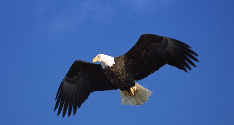 Las águilas calvas difieren en su tamaño dependiendo del género.