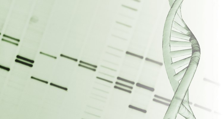 DNA fingerprinting through gel electrophoresis.
