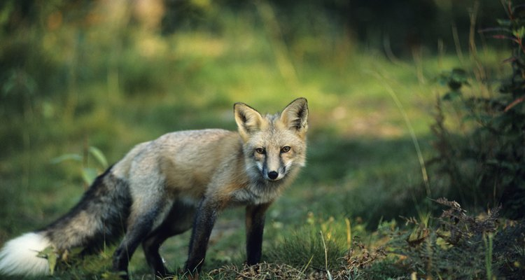 Red fox standing in grass