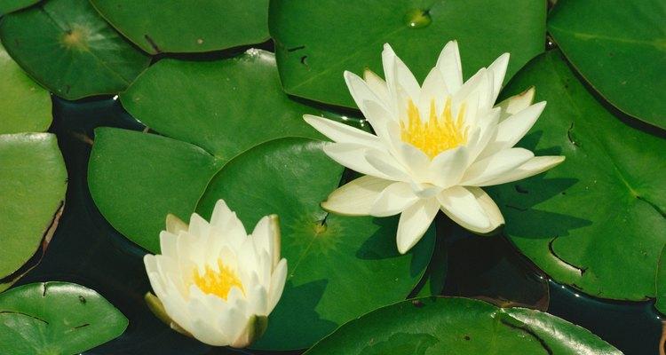 Las plantas acuáticas liberan oxígeno disuelto en el agua.