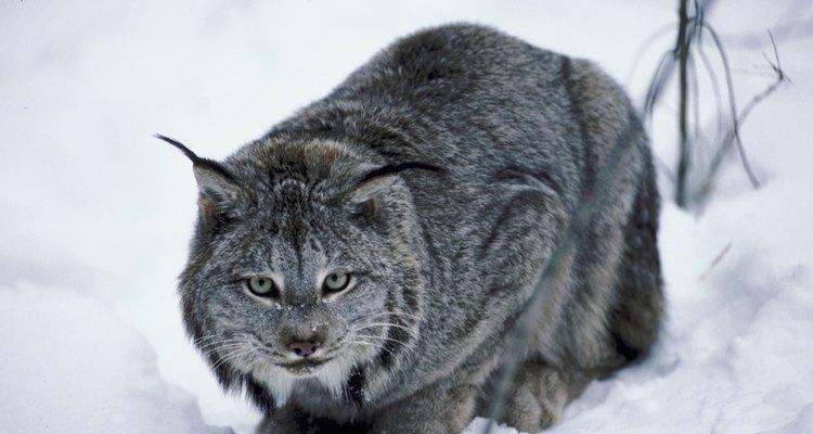 Lynx crouching in snow