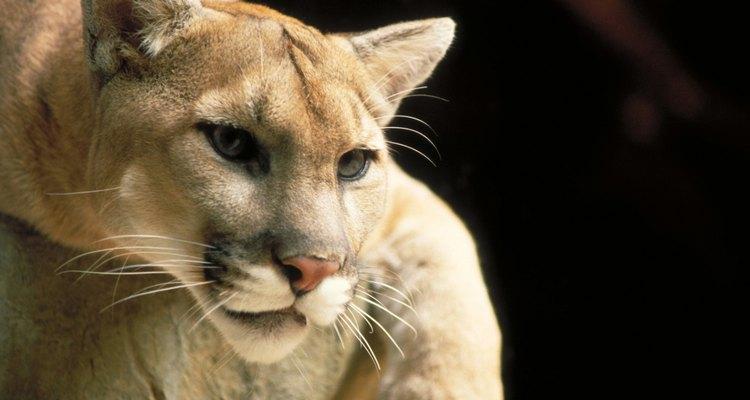Los pumas se reconocen por varios nombres incluyendo león de montaña y puma.