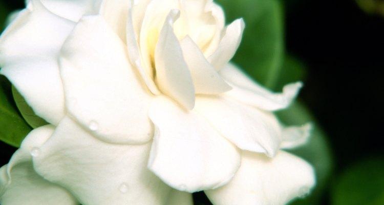 Las gardenias cultivadas en interiores necesitan un lugar soleado para crecer.