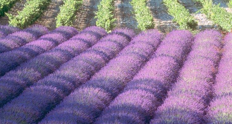 La lavanda atrae a las abejas melíferas.