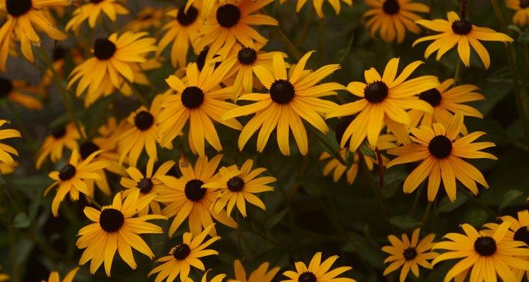 Ojo de poeta en floración.