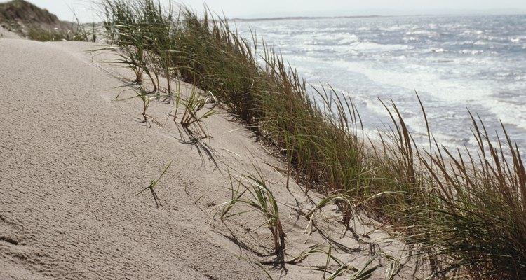 Las gramíneas en una duna de arena deben tolerar las condiciones de viento y de sal.