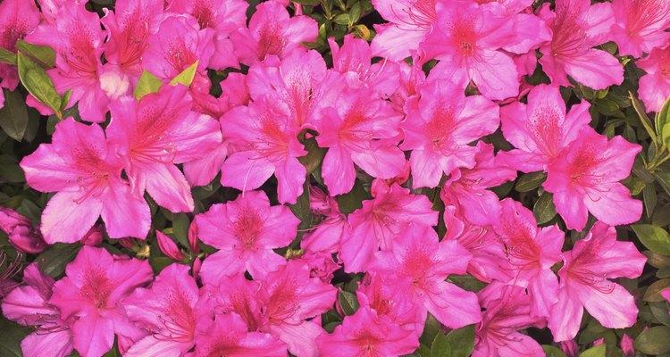 Folhas pretas de azaleia geralmente indicam um problema profundo