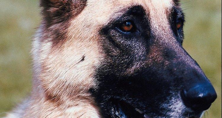Los perros pastor alemán son una raza relativamente nueva que apareció en Alemania hace más de 100 años.