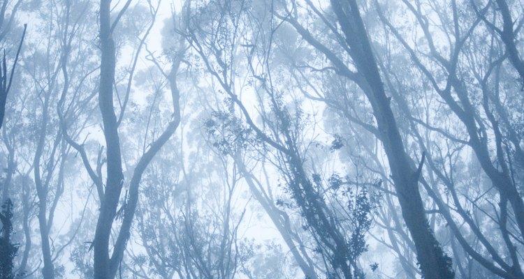 Árvores de eucalipto podem se aglomerar e impedir o crescimento de vegetação nativa em algumas regiões