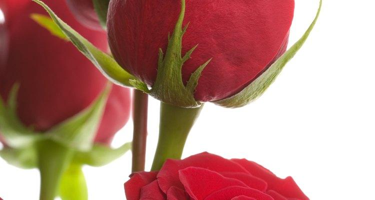 Las diosas griega y romana Venus y Afrodita siempre han estado asociadas con las rosas rojas por su belleza, fuerza y potencial para dañar.