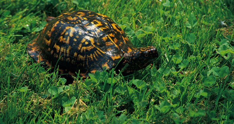Todas las tortugas son fuertes nadadoras, incluso las especies con los pies palmeados en vez de aletas.