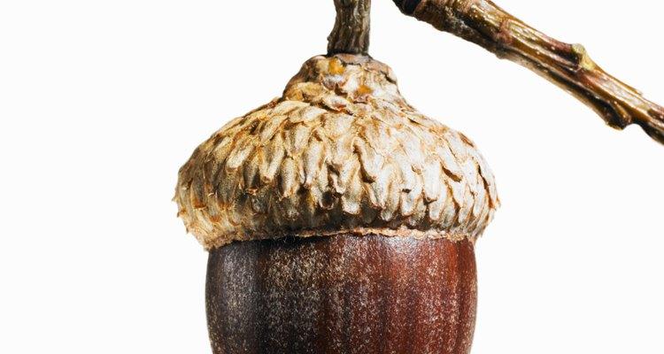 Puedes distinguir las bellotas basadas en la forma de la nuez y las características del capuchón.