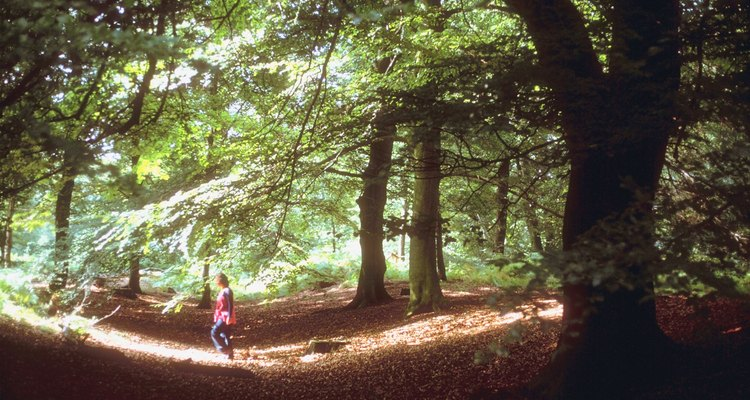 Beech trees are native to Europe, Asia and North America.