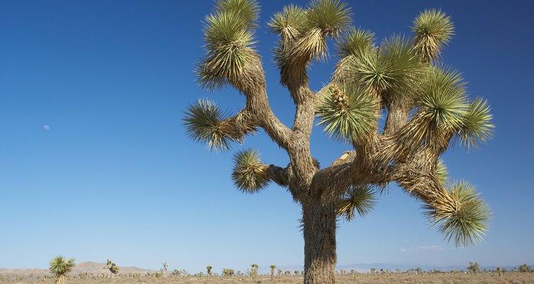 El árbol de Joshua es una planta de yuca muy conocida.