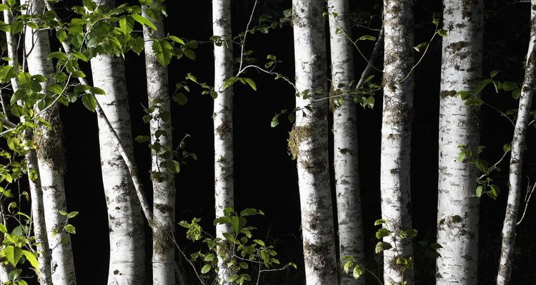 Birch trees are easily recognised by their white peeling bark.