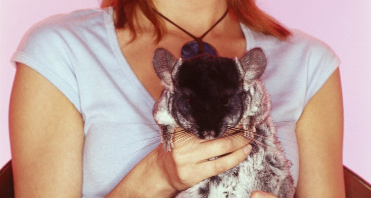 Wild chinchillas are endangered due to hunting and habitat destruction.