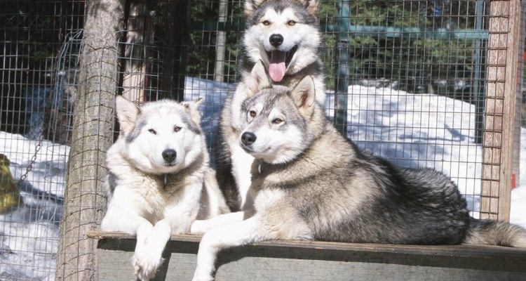Huskies Siberianos precisam de brinquedos mastigáveis grandes e duráveis