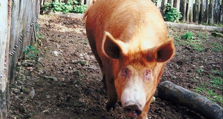 Durocs são criados pela sua carne de alta qualidade