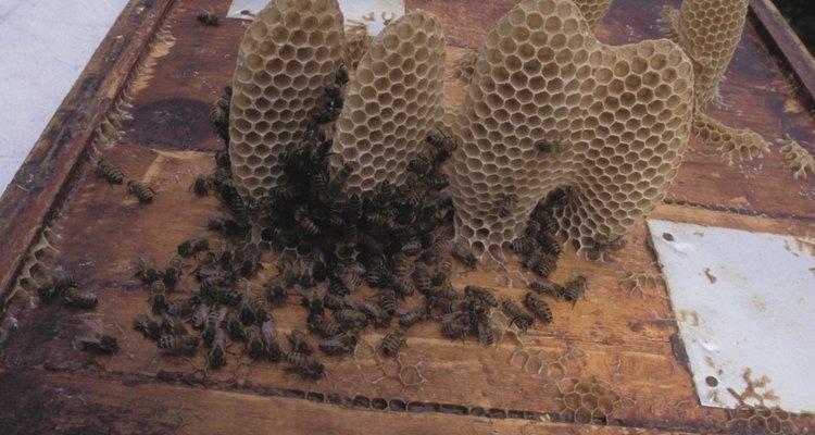Favos de mel como estes produzem mel e cera de abelha