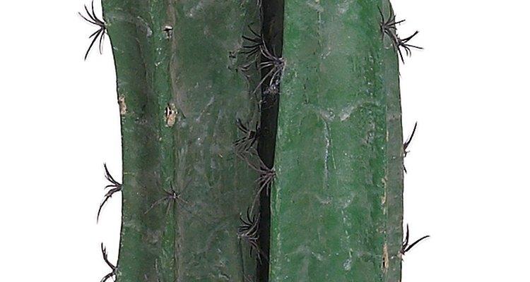 El cactus San Pedro (trichocereus pachanoi) es una planta suculenta de crecimiento vertical.