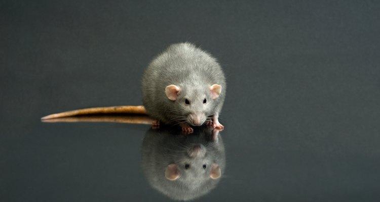 Una rata hembra entra en celo cada cuatro o cinco días.