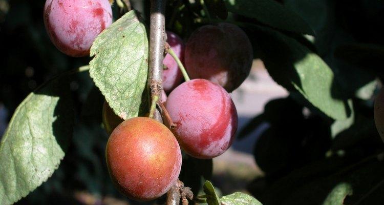 A healthy plum tree.