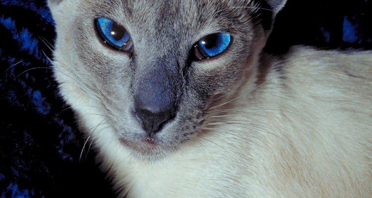El gato siamés tiene ojos almendrados.