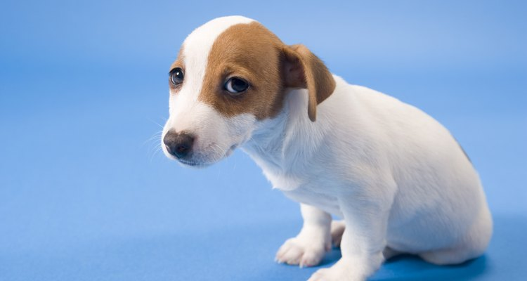 A gengiva branca em filhotes pode ser sinal de uma grave condição de saúde