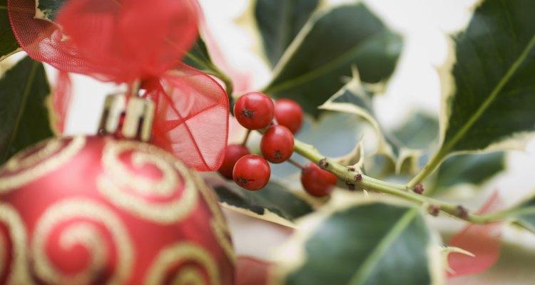 Los acebos son buscados para decoraciones navideñas.