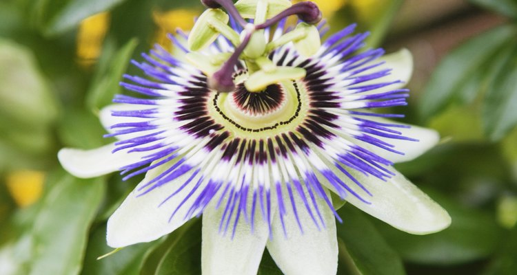 A healthy passion flower