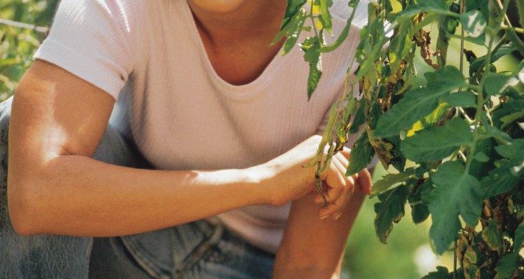 El daño severo en la estructura de la raíz de la planta de tomate puede matarla rápidamente.