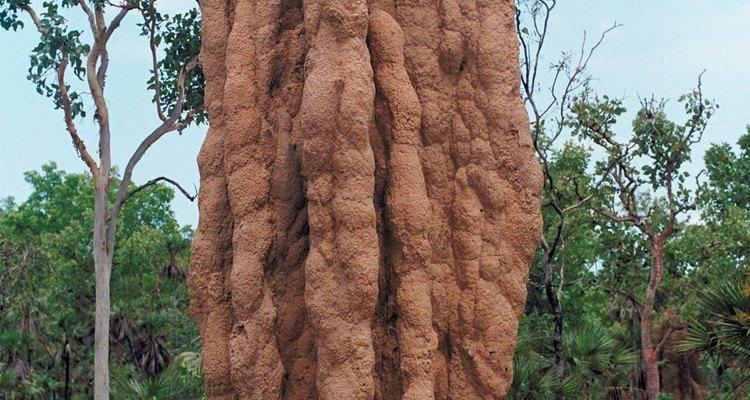 Os cupins das espécies africanas e australianas constroem grandes montes