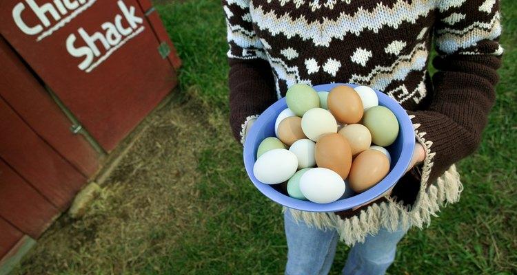 Uma galinha choca pode atacar a pessoa que recolhe os ovos