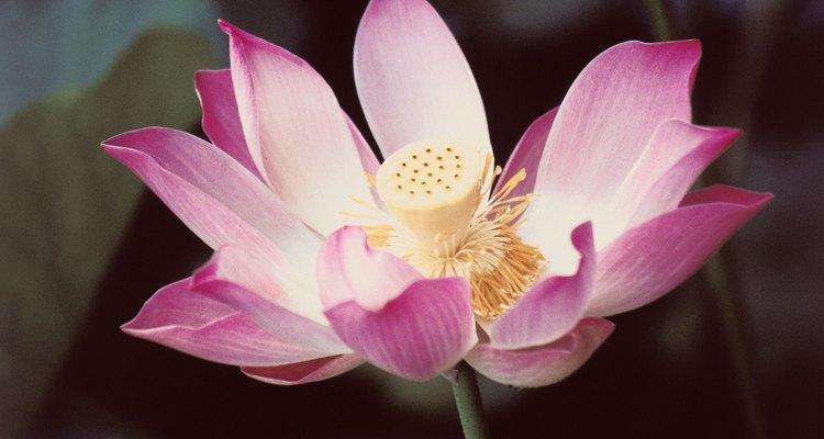 O lótus pode ser cultivada dentro e fora de casa