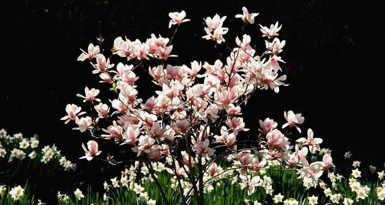 An ornamental magnolia contributes to a colourful border garden.