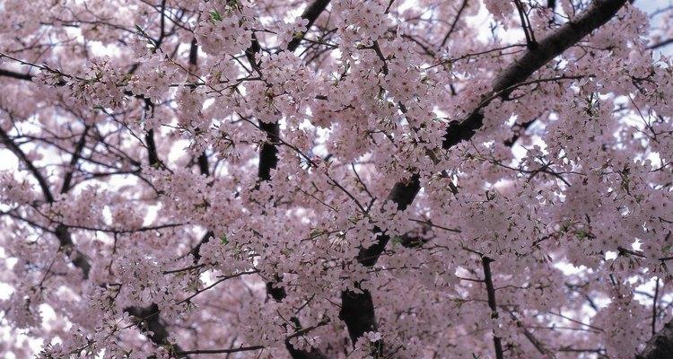 Cerejeiras oferecem belas flores e frutos deliciosos