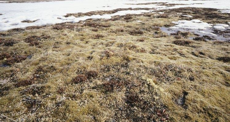 Muy pocos herbívoros pueden sobrevivir en la tundra, debido a la falta de vegetación.