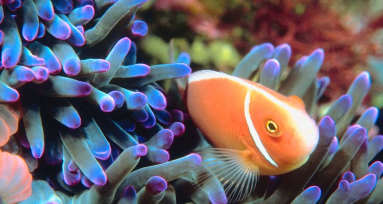 Plywood aquariums can provide a great habitat for reef fish and corals.